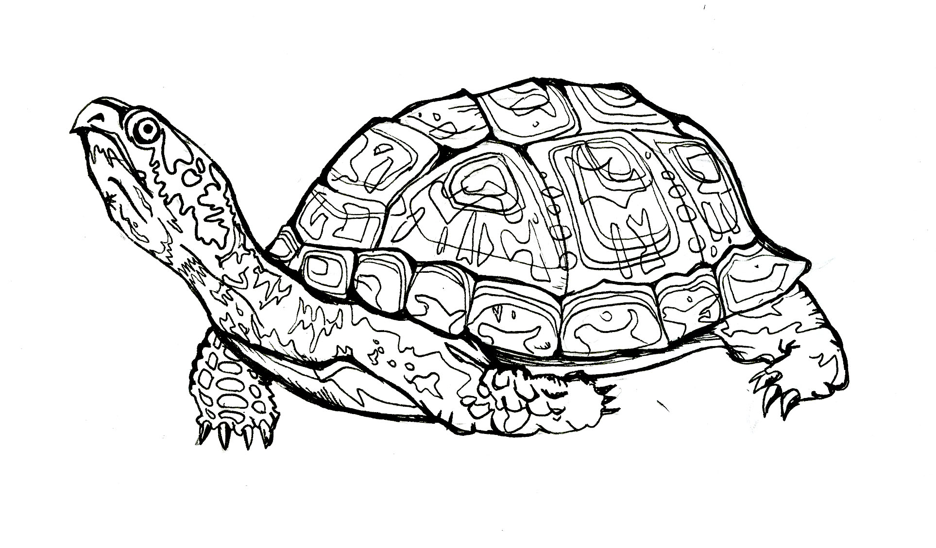 Line Drawing Turtle : Turtle line drawing