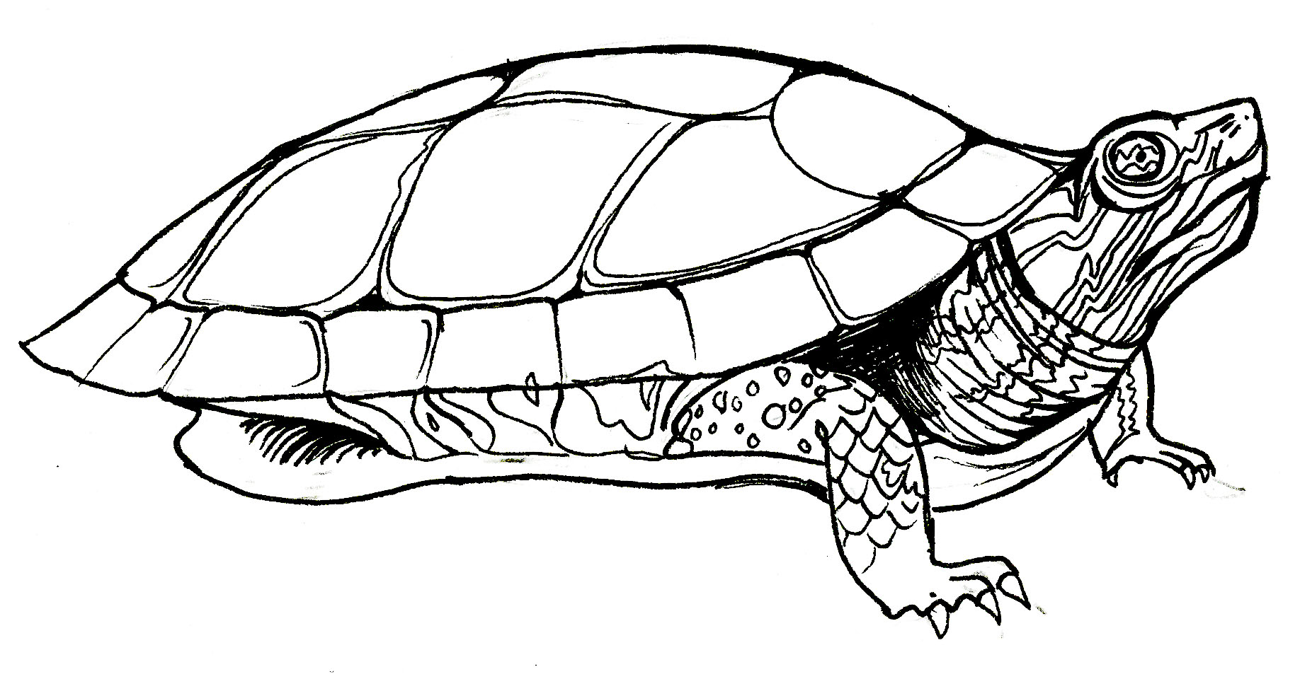Box turtle coloring page for Turtle coloring pages