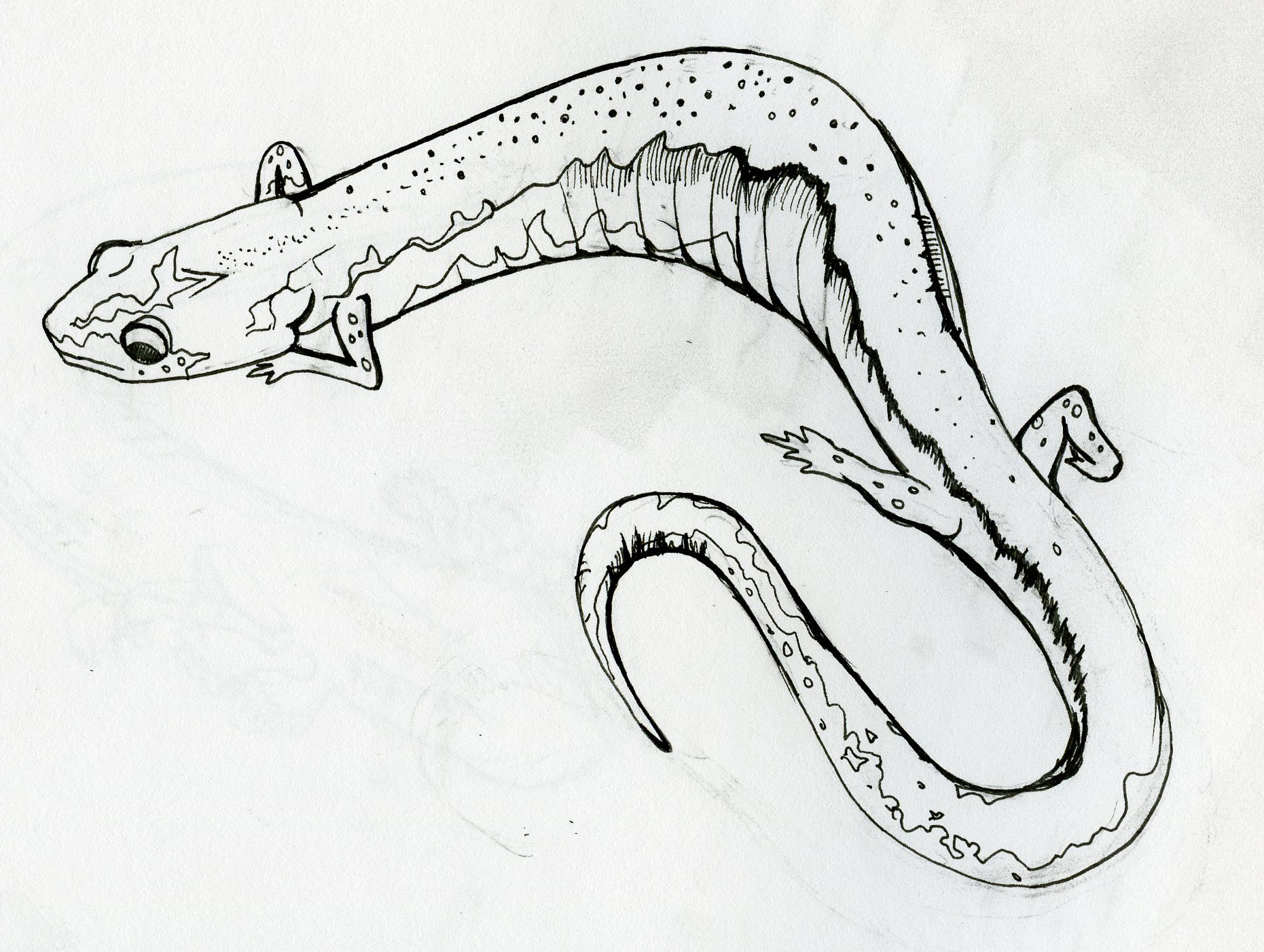 Red Backed Salamander Drawing